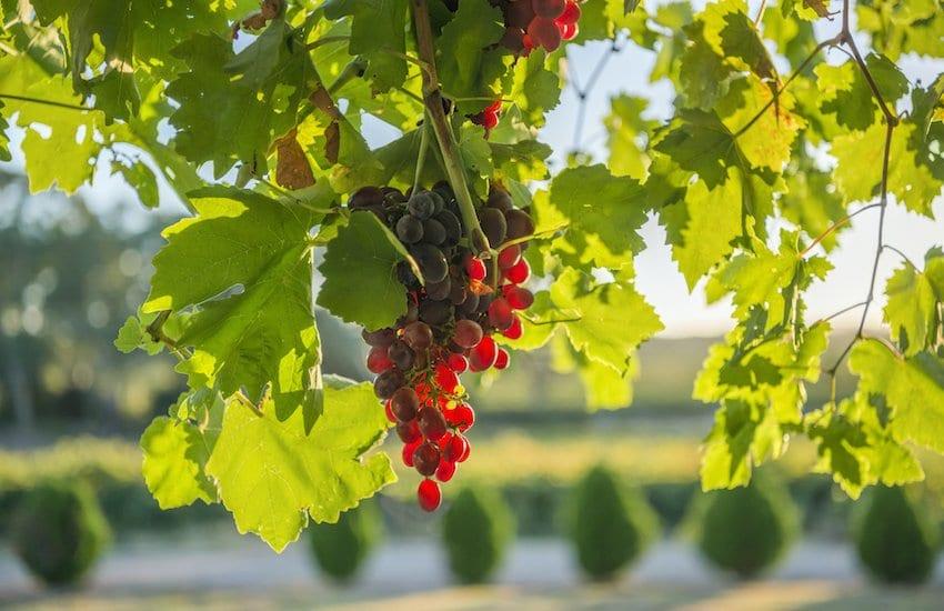 Grapes in the Barossa_South Australia
