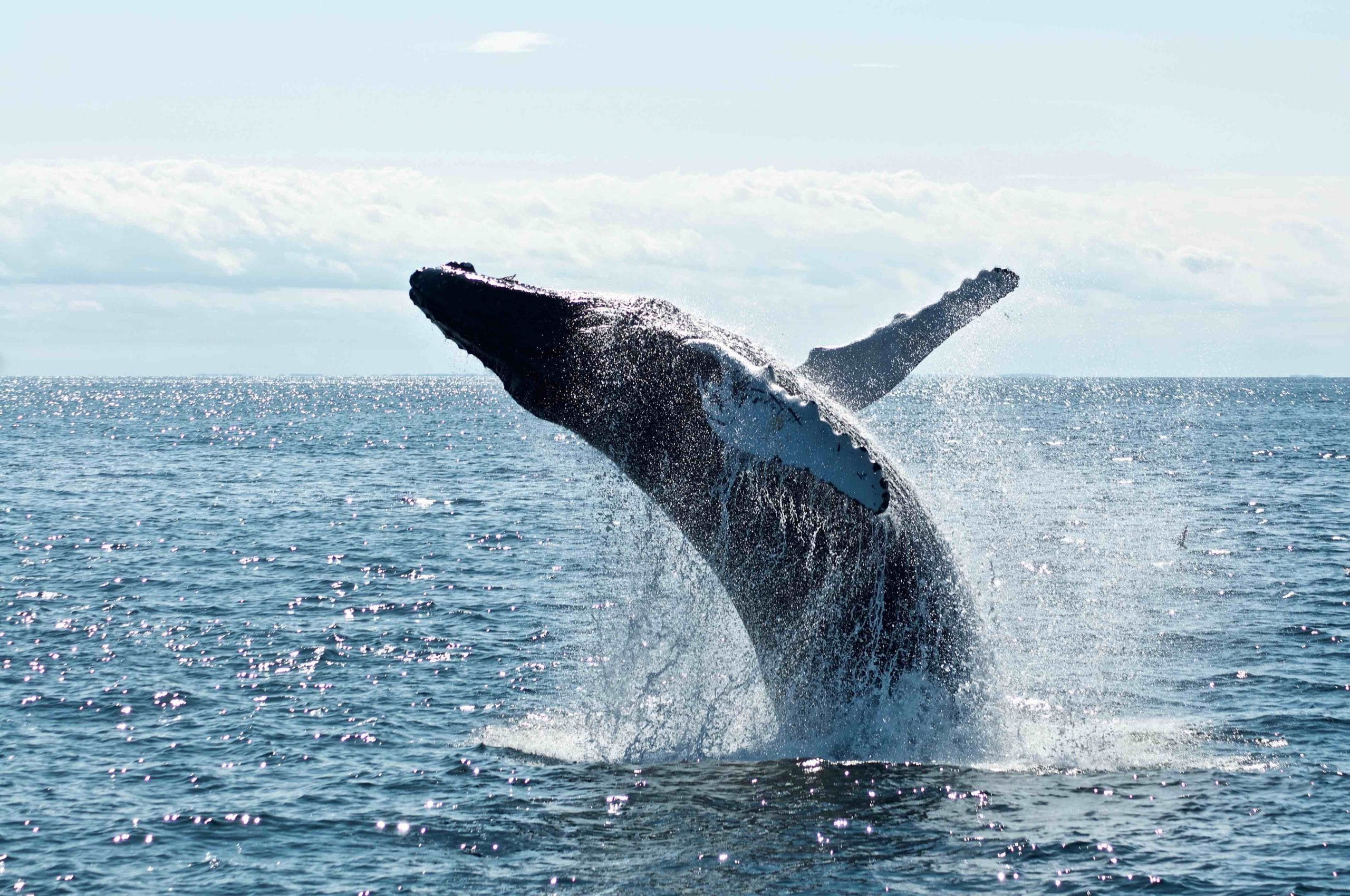 Whales off Fraser Island